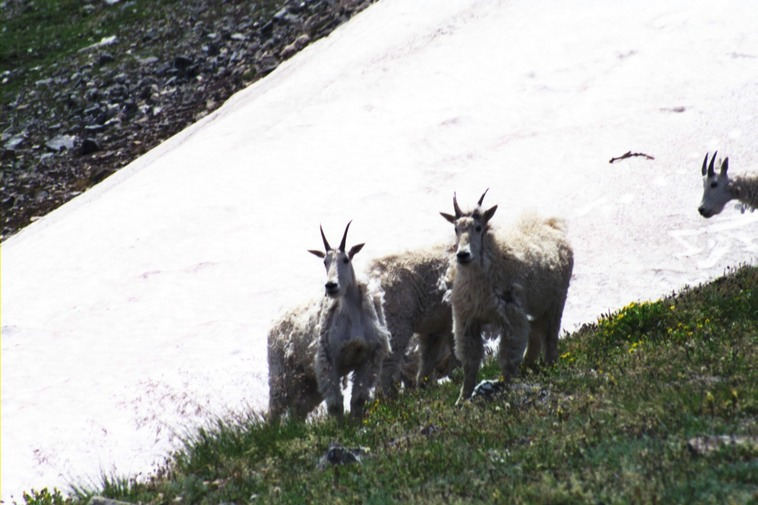 Mountain Goats along Byers Peak trail